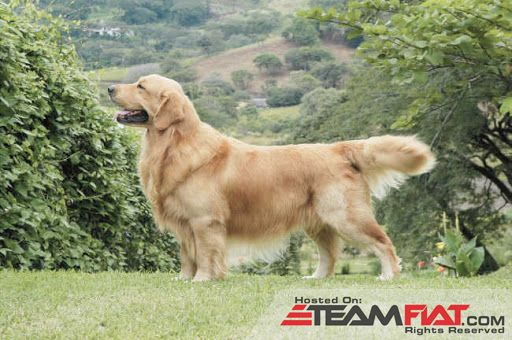 Golden-Retriever-big-2.jpg