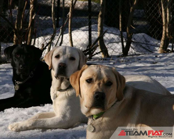 labrador-retriever-wallpaper.jpg